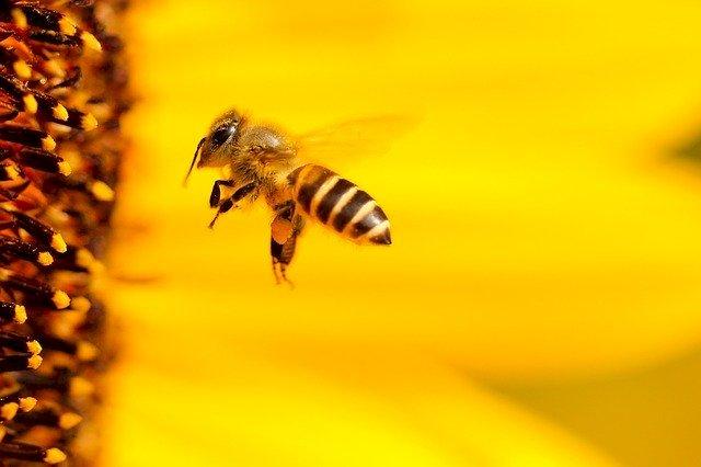 Пчелен прашец – ползи и приложение